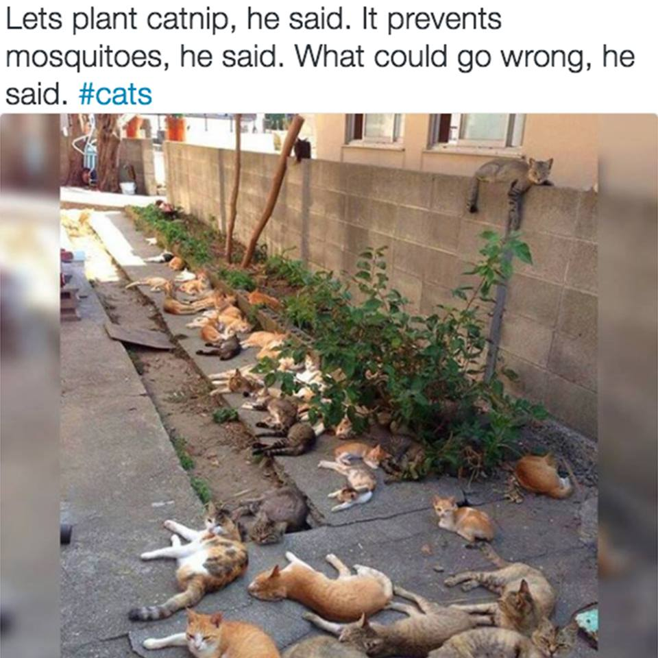 Name:  catnip.jpg Views: 844 Size:  108.1 KB